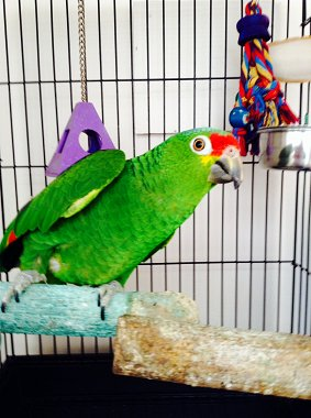 Oscar the Amazon Parrot Poses for his Photograph!!