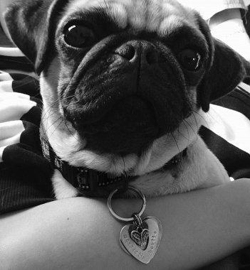 New Cuddle Buddy Appointed, Pugly