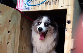 Slater the australian collie packs up and goes back home, to Australia!!